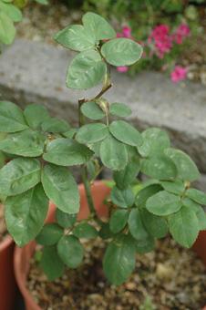 roses2012421-22.jpg
