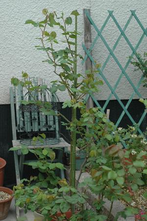 roses2012421-23.jpg