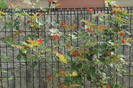 roses2012421-25.jpg