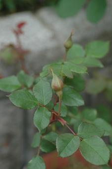 roses2012421-3.jpg