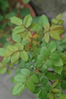 roses2012421-4.jpg