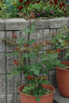roses2012421-5.jpg