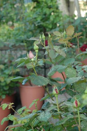 roses2012503-2.jpg