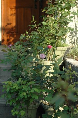 roses2012505.jpg