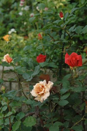 roses2012510-1.jpg