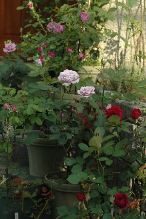 roses2012511-2.jpg