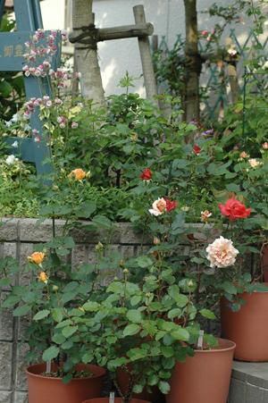 roses2012511-5.jpg
