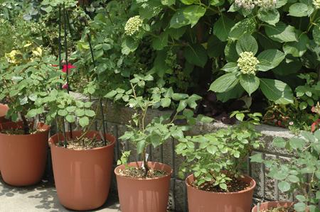 roses2012601-3.jpg