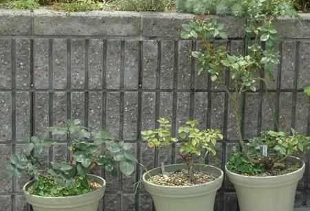 roses2012601-5.jpg