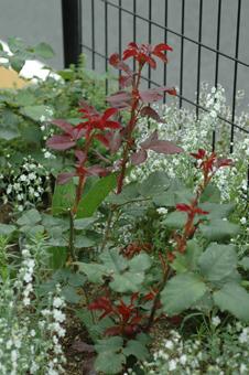roses2012607-1c.jpg