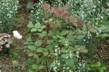 roses2012607-1d.jpg
