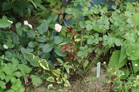 roses2012607-2a.jpg