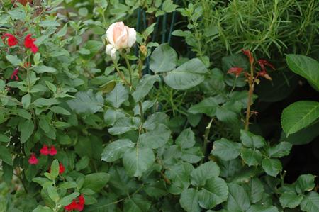 roses2012607-2b.jpg