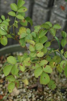 roses2012607-3-1.jpg