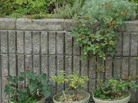 roses2012607-3.jpg