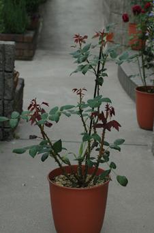 roses2012607-3a.jpg