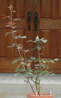 roses2012607-3c.jpg