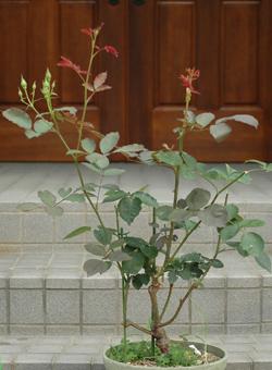 roses2012607-3d.jpg