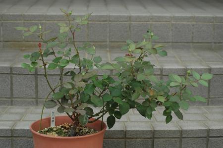 roses2012607-3e.jpg