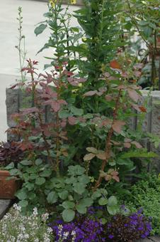 roses2012607-3f.jpg