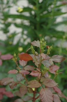roses2012607-3g.jpg