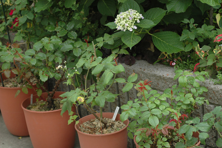 roses2012607-4.jpg