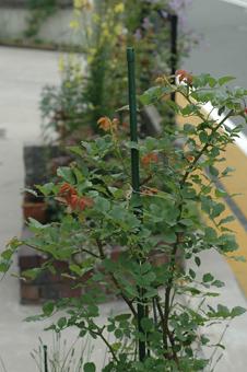 roses2012607-5.jpg