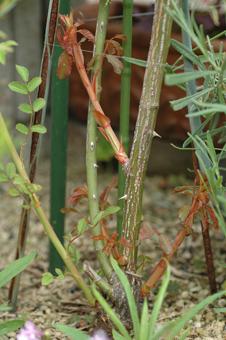 roses2012607-5a.jpg