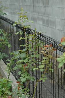 roses2012607-6a.jpg