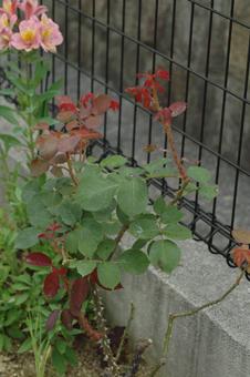 roses2012607-6c.jpg