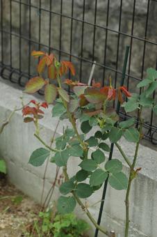 roses2012607-6d.jpg