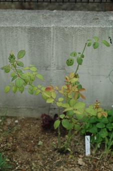 roses2012607-6e.jpg