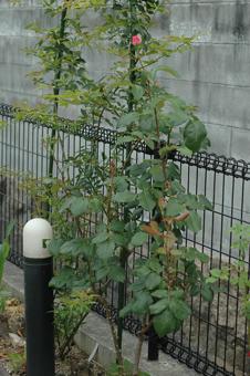 roses2012607-6f.jpg