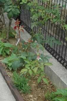 roses2012607-6g.jpg