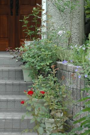 roses2012618-3.jpg
