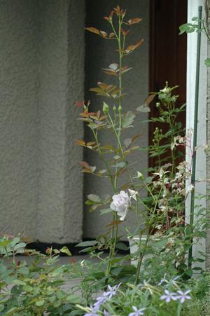 roses2012618-8.jpg