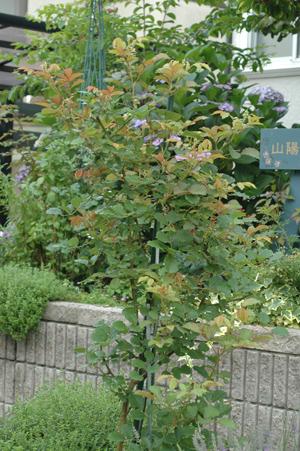 roses2012618-9.jpg