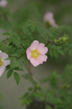 sanshoubara2012509-2.jpg