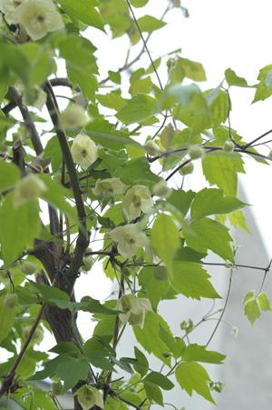 shirohanahanshouzuru2012420-3.jpg