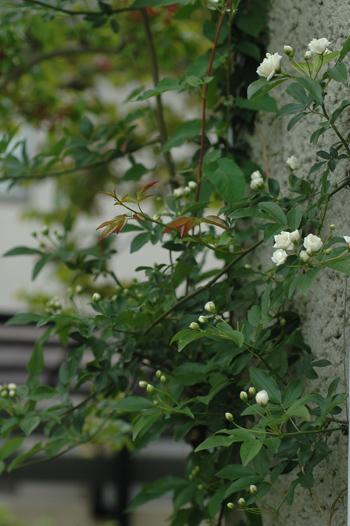 shiromokkou2012501.jpg