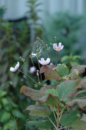 shumeigiku20101004.jpg