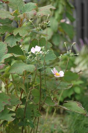 shumeigiku2010927-2.jpg