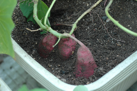 sweetpotato20101102-1.jpg