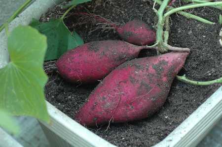 sweetpotato20101102-2.jpg