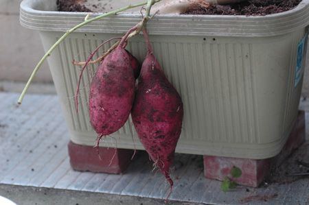 sweetpotato20101102-4.jpg