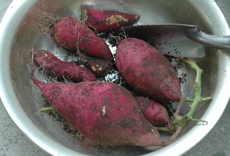 sweetpotato20101102-5.jpg