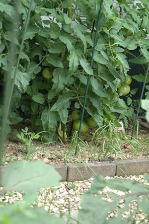 tomato2012620-1.jpg