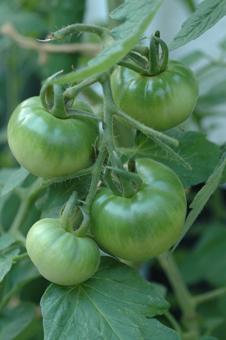 tomatoseed2012610-1.jpg