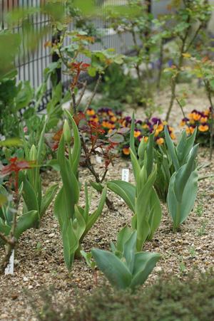 tulip2012410.jpg