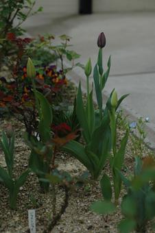tulip2012416-1.jpg